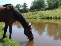 heat stress in horses