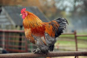 Bluebonnet poultry