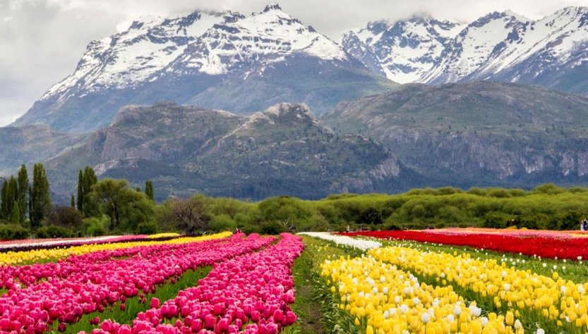 Trevelin campo de tulipanes