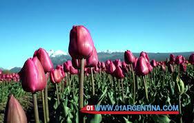 tulipans03