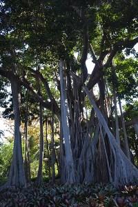 Ficus(Nueva Zelanda )