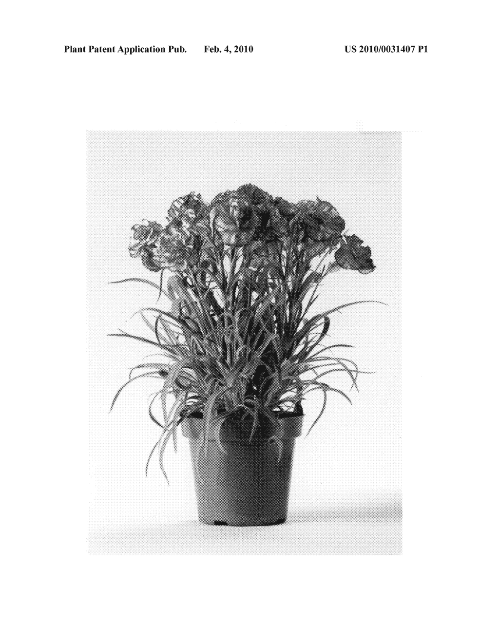 hight resolution of carnation plant named cfpc chantilly diagram schematic and image 04