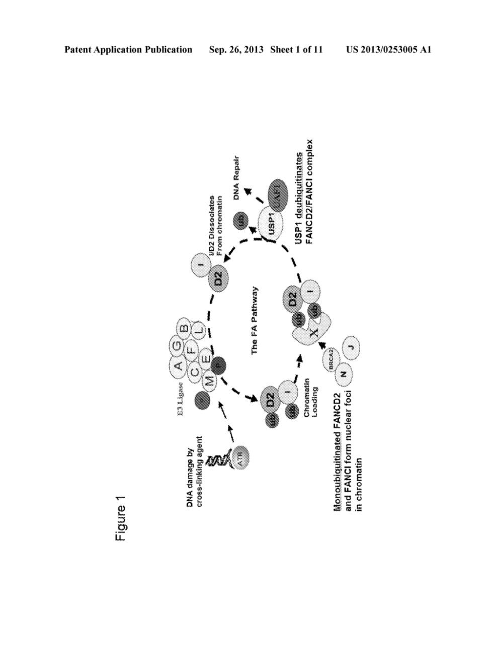 medium resolution of small molecule inhibitors of usp1 deubiquitinating enzyme activity diagram schematic and image 02