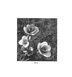 magnolium tree diagram [ 1024 x 1320 Pixel ]