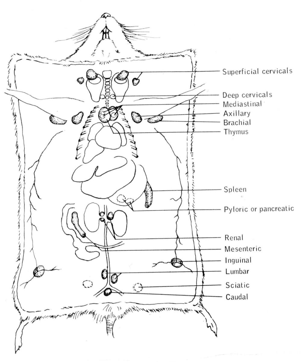 medium resolution of 5 scheme reporting localization of the lymphatic system from t b dunn 1954 courtesy of the author click on the image for a larger version