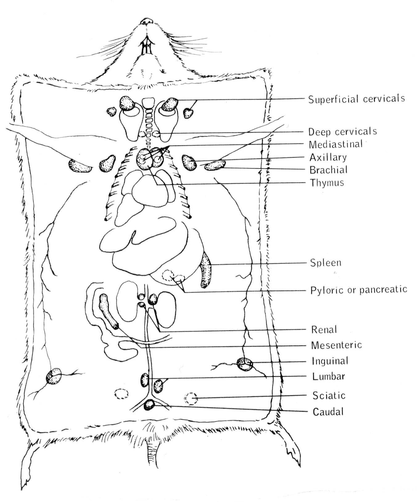 hight resolution of 5 scheme reporting localization of the lymphatic system from t b dunn 1954 courtesy of the author click on the image for a larger version