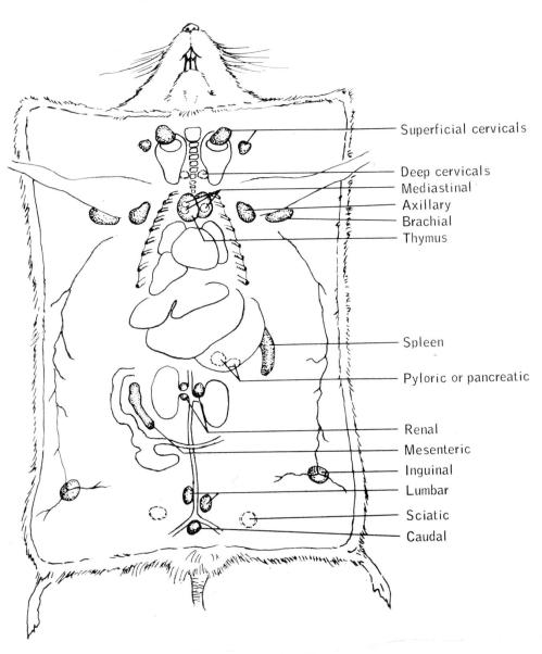 small resolution of 5 scheme reporting localization of the lymphatic system from t b dunn 1954 courtesy of the author click on the image for a larger version