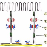 Quick review: the 5 main intercellular junctions