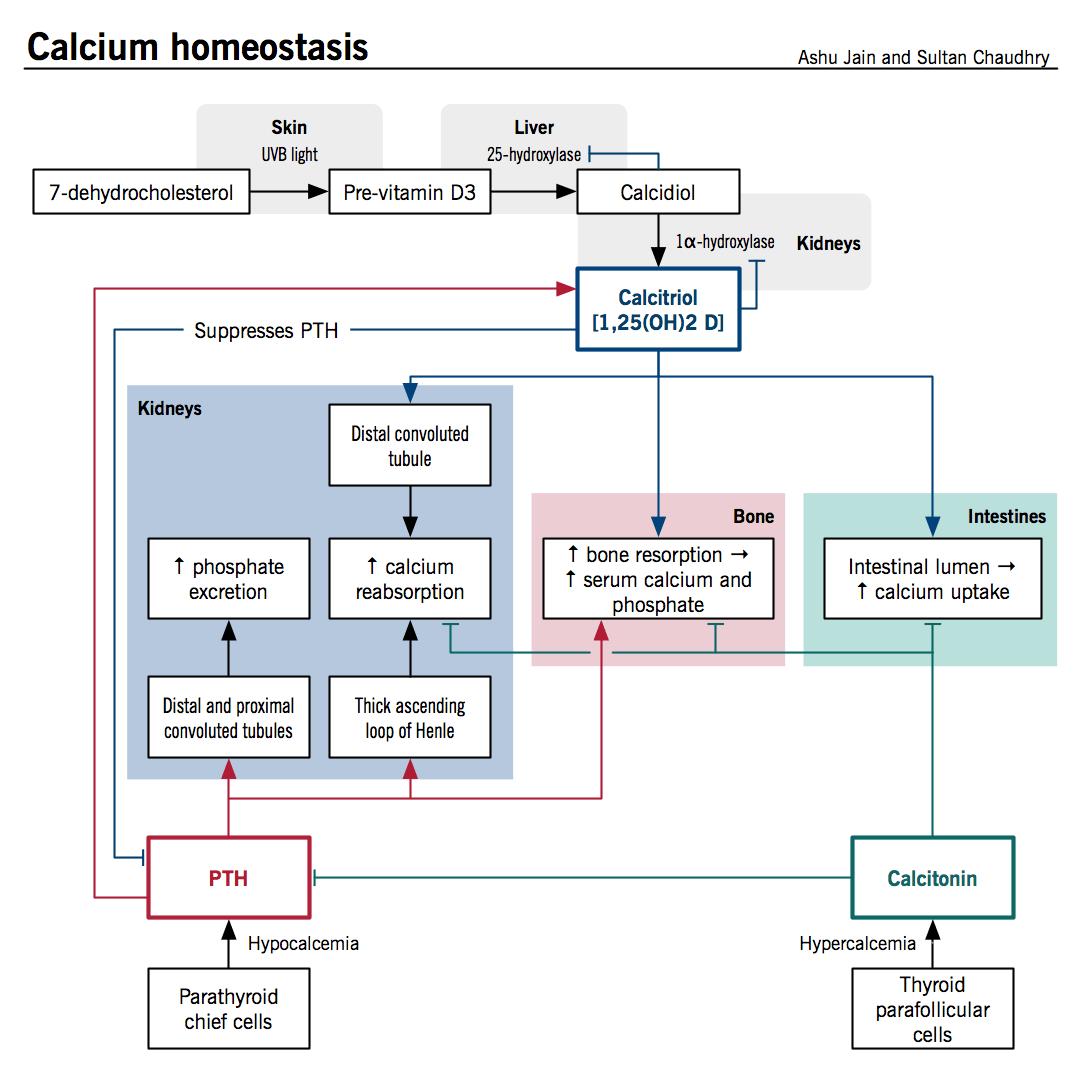 Calcium Homeostasis And Osteoporosis