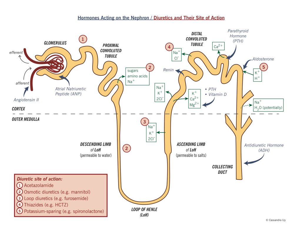 medium resolution of the nephron showing reabsorption hormone action and diuretic action