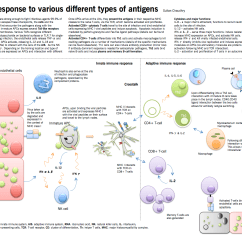 Diagram Of Adaptive Immune Response Flow Ford Glow Plug Introduction To Immunology Mcmaster Pathophysiology Review