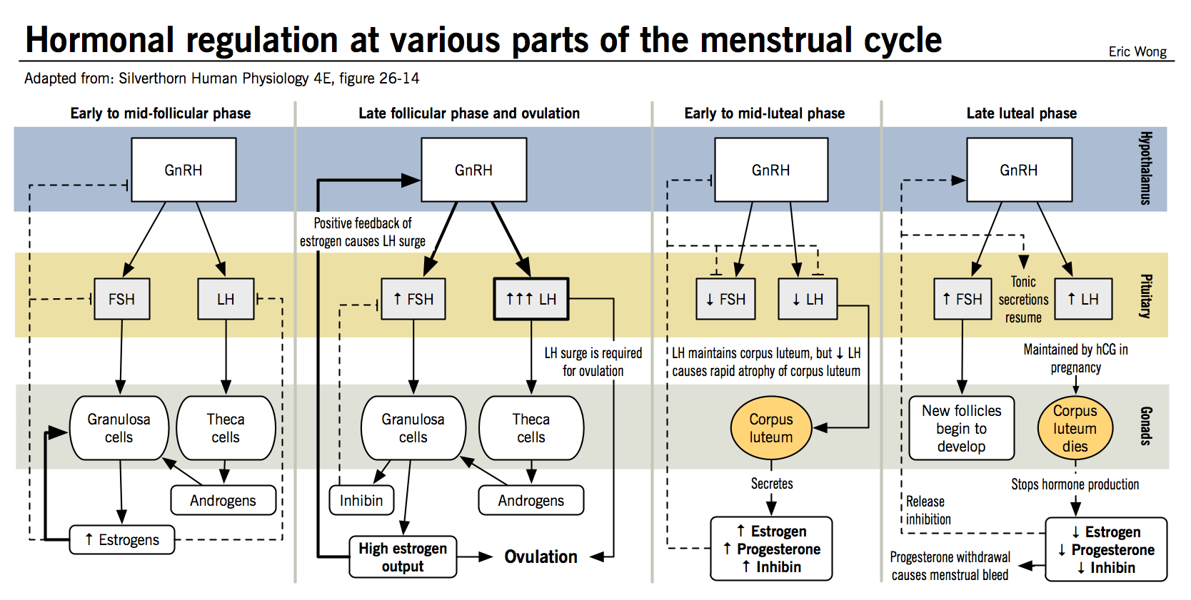 Hormonal Regulation At Various Parts Of The Menstrual