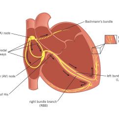 Cardiac Conduction System Diagram Bedford Tj Wiring Heart Bundle Of His Atria Elsavadorla
