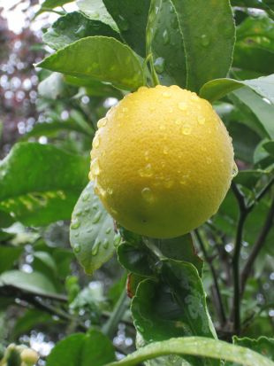 How to Grow Meyer Lemon Trees from Seed