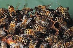 a méhek nemcsak mézet állítanak elő, de ennél fontosabb, hogy a növények beporzásának nyolcvan százalékát is ezek a rovarok végzik el