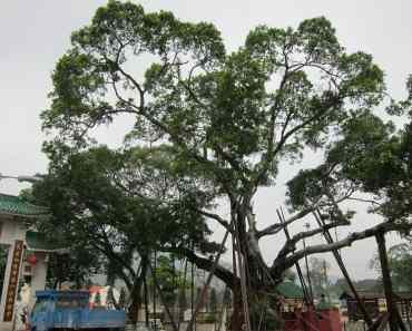 Getting to Hong Kong Lam Tsuen Wishing Tree 林村許願樹