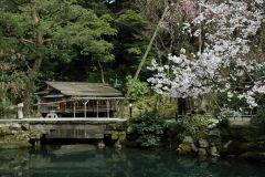 Cherry blossoms in Kenrokuen