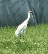 whooper female crane city
