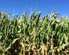 g-g-corn-stalks-2016