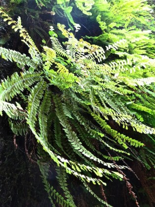 fern-close-up-fern-valley-2016