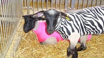 sheep-jackets-jeff-16