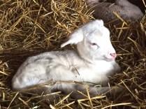 D's lamb