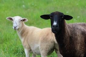 lady g and lamb