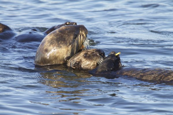 Saving sea otters: Continued threats
