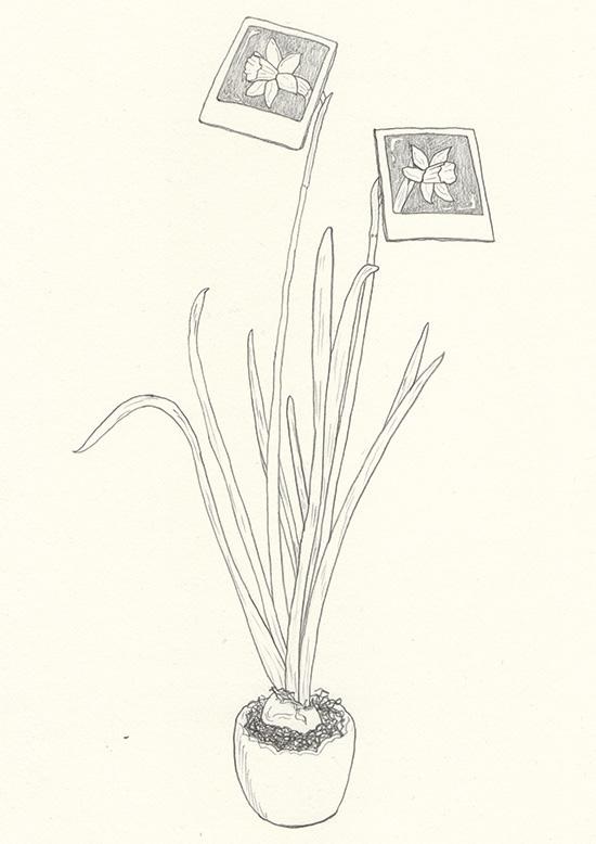 Narzisse Wachstum Foto Bleistift