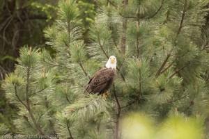 Cooperative Eagle