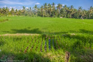 Village fields in Bali