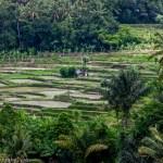 Village rice terraces; a compromise photo