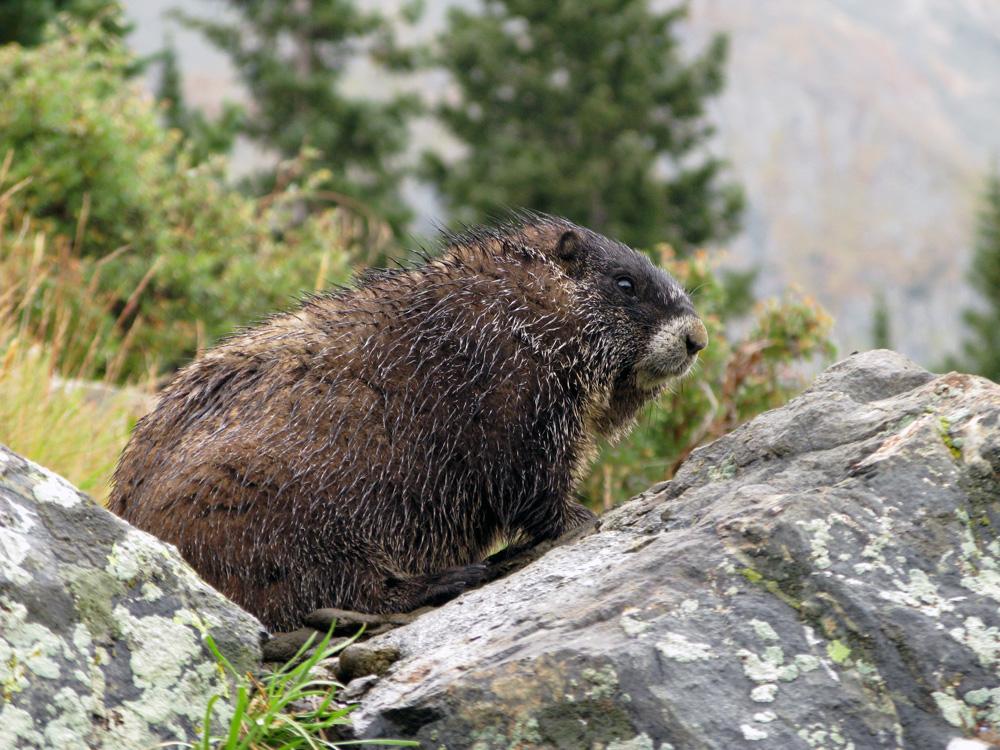 Wet marmot, good marmot…