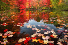 Fall Leaves Dancing Wallpaper Autumn Foliage Patrick Zephyr Photography