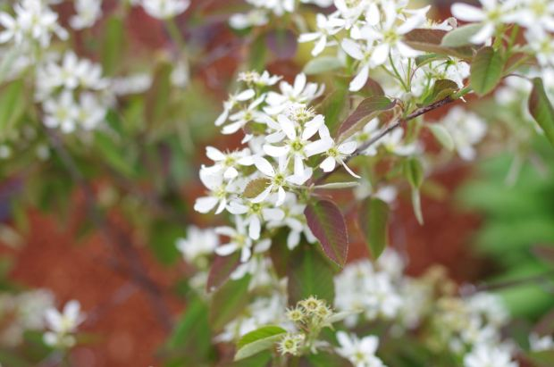 serviceberry bush, which grows edible berries