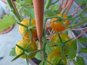Sungold tomato. photo: PBH
