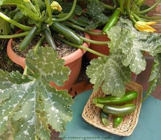 small zucchini