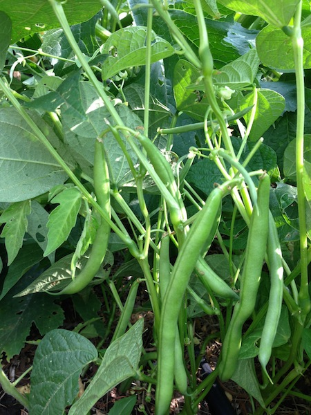 Plant a few beans every two weeks for a steady supply of green beans this summer. photo: PBH