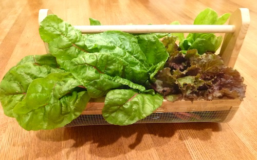 lettuces and chard. Photo by PBH