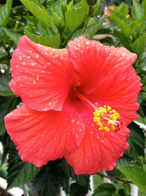 The hibiscus are in continuous bloom.