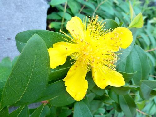 St John's Wort flower