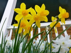 Daffodils are already planted. They are great naturalizers and ready multiply.