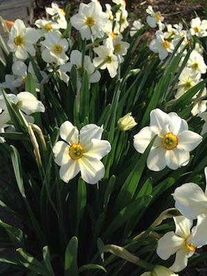 Poets daffodil.