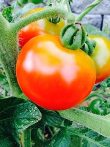 Stupice heirloom tomato will be your first tomato of the year.