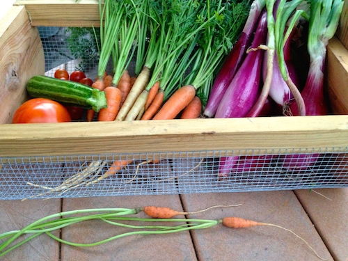 Tomatoes, squash, carrots, onions