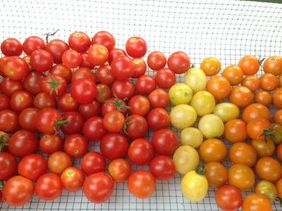 Basket of cherry tomatoes. Going straight into the food dehydrator.