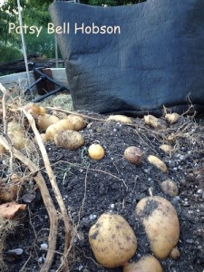 Growing potatoes in a bag makes for an easy, back saving harvest.