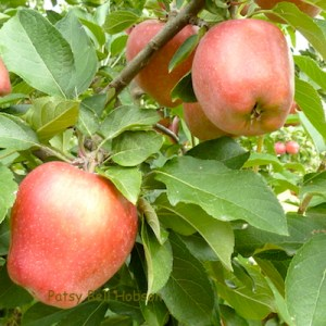 The orchards are loaded with apples.