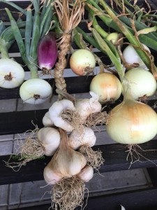 Summer harvest of onions and garlic.