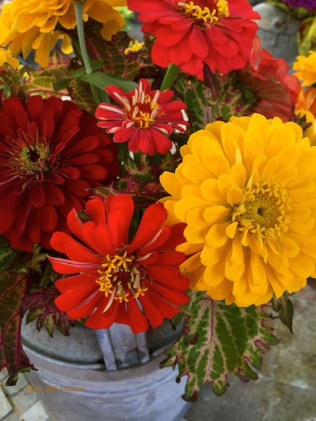 Red and gold zinnias with coleus in an antique watering can.